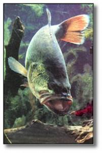 bassnlure